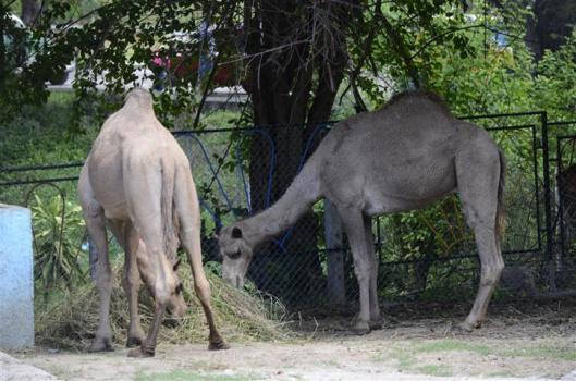 dromedarios_zoológico_santiago_de_cuba_foto_J._Loo_Vázquez